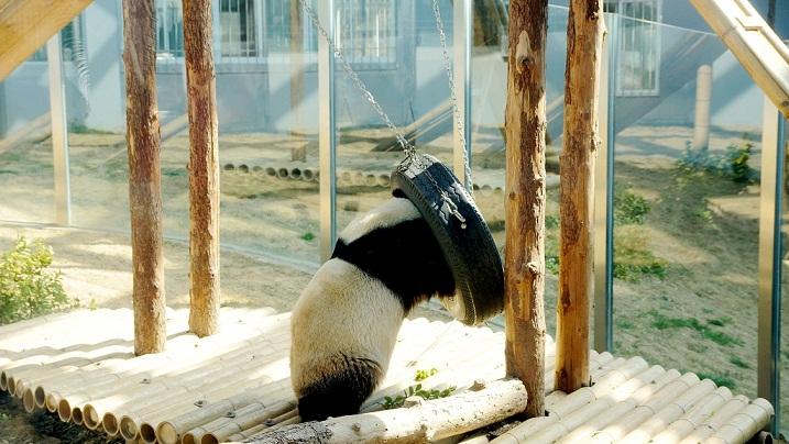 魔性动物园之直立行走的熊猫
